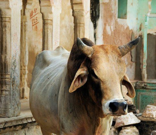 cowpathy