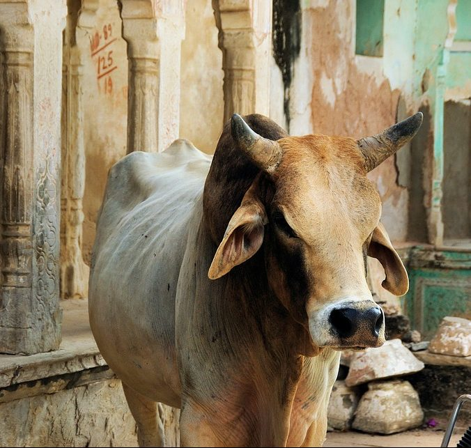 Cowpathy is Udderly Changing Health & Beauty Using Bovine Manure, Panchagavya